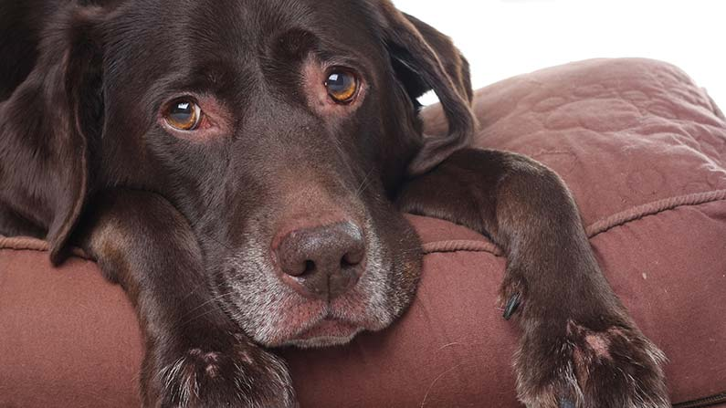 This dog has heartworm disease.