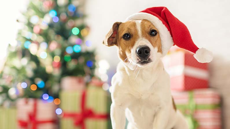 This Jack Russell Terrier is keeping pet safety in mind this holiday season