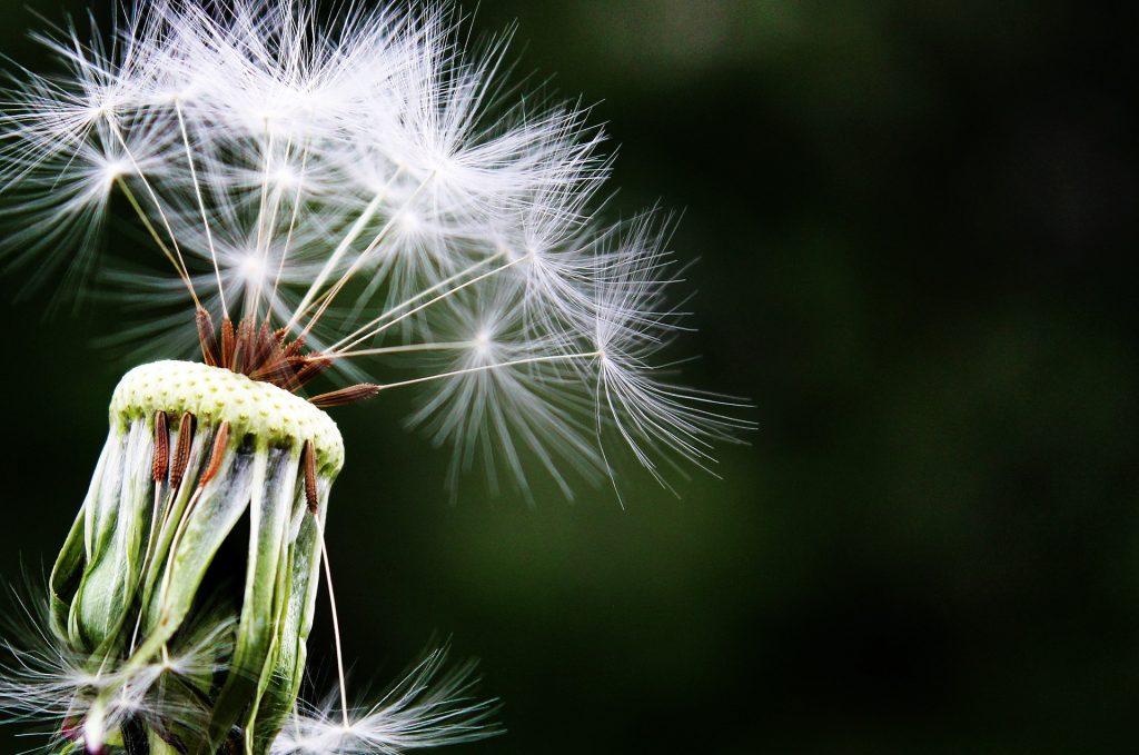 dandelion-pet allergies.
